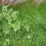 Lamium album (dead nettle), burdock (Arctium spp.) and chickweed (Stellaria media)