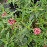 Centranthus ruber (red valerian) is noted in Mrs. Grieve's A Modern Herbal from the 1930s as exceedingly good in salads and cooked as a vegetable! I haven't tried it.