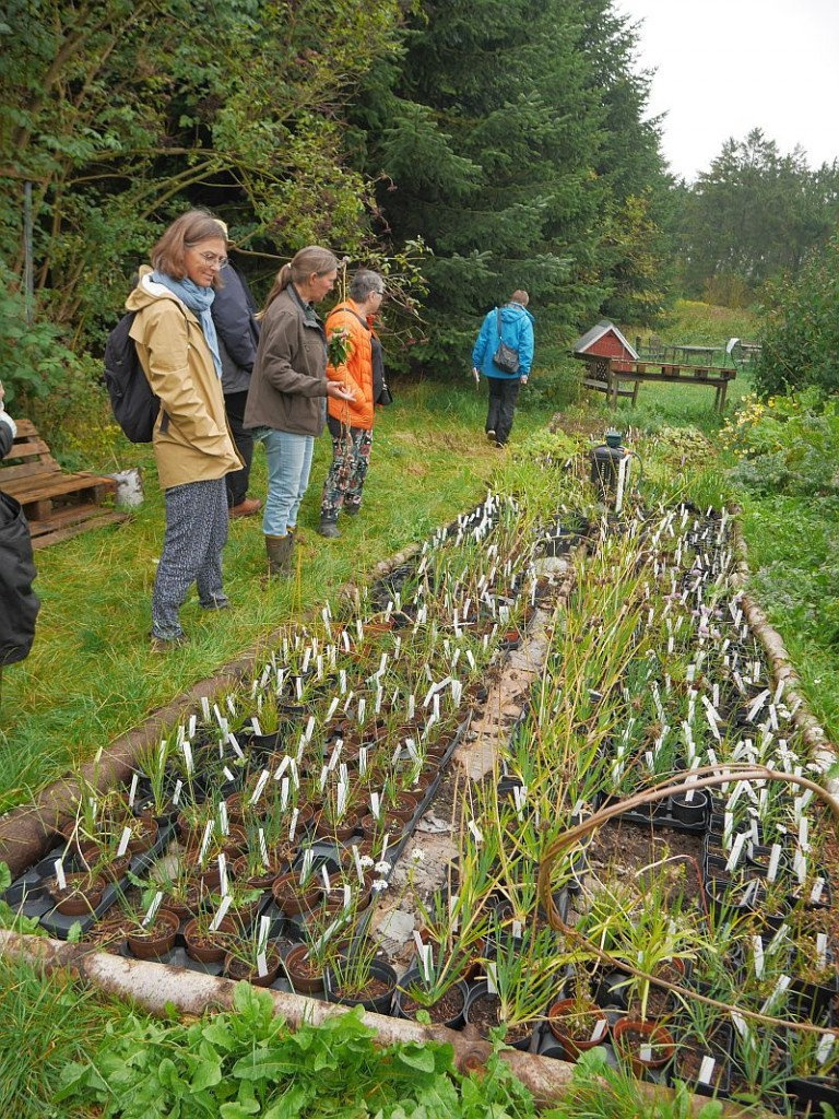 Allium nursery