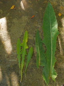 Leaves of Sonchus arvensis on left and the large glaucous leaves of the original perennial Puha