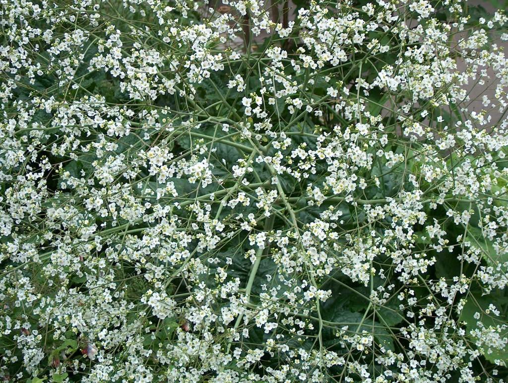 Crambe cordifolia in full flower