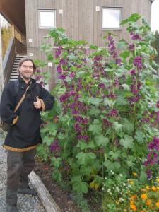 A fantastic Malva sylvestris (var. mauritania?) in the Hurdal Ecovillage with Randy!