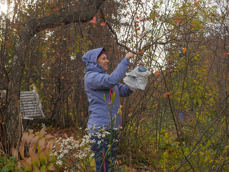 ..another PDC'er picking Aronia melanocarpa
