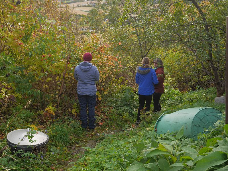 Picking Aronia x prunifolia