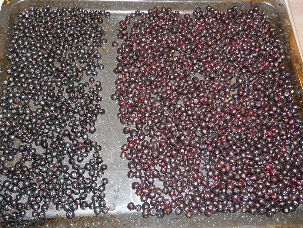 "The berries on the right are from Aronia melanocarpa ""Moskva"". The berries on the left I'm using for the first time this year seed propagated as Aronia x prunifolia, which is a hybrid called purple chokeberry  in recognition of its purple berries (although Moskva have more purplish berries in this picture!). It is considered to be a natural hybrid between Aronia melanocarpa and Aronia arbutifolia."