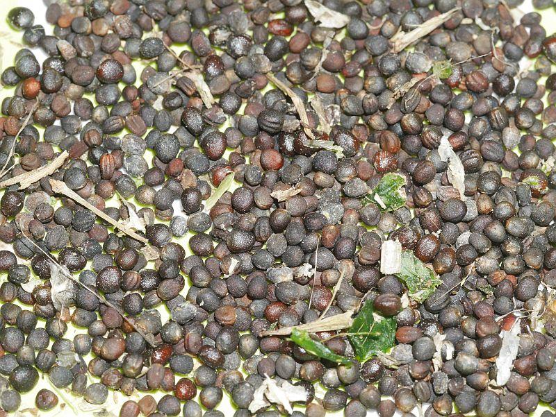 Daubenton x Late Purple Sprouting Broccoli cross