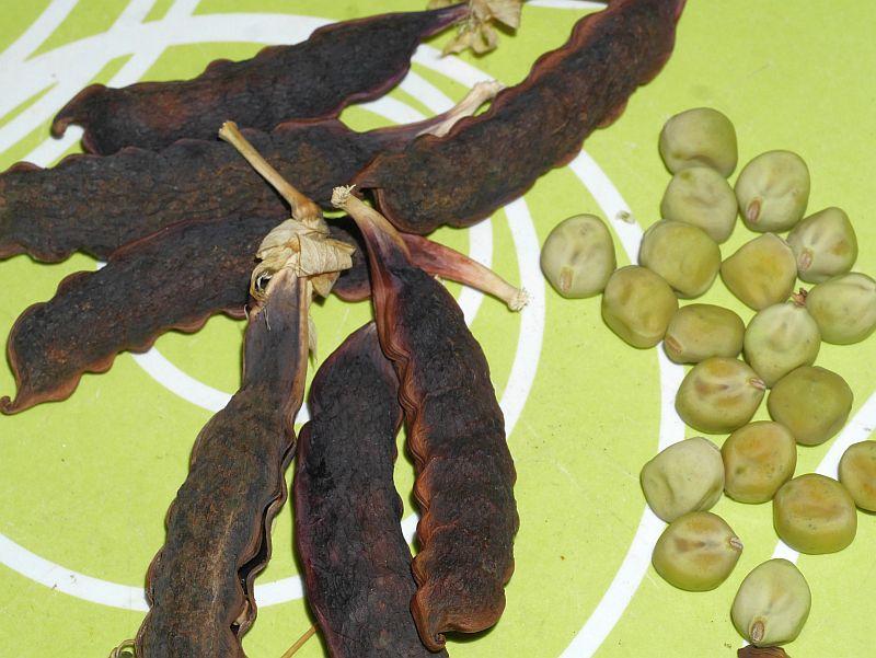 Sugar Magnolia pea (purple sugar snap pea from Alan Kapuler)