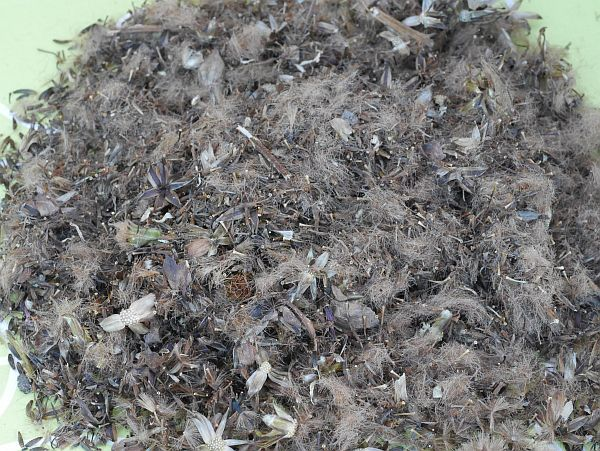 Ligularia fischeri