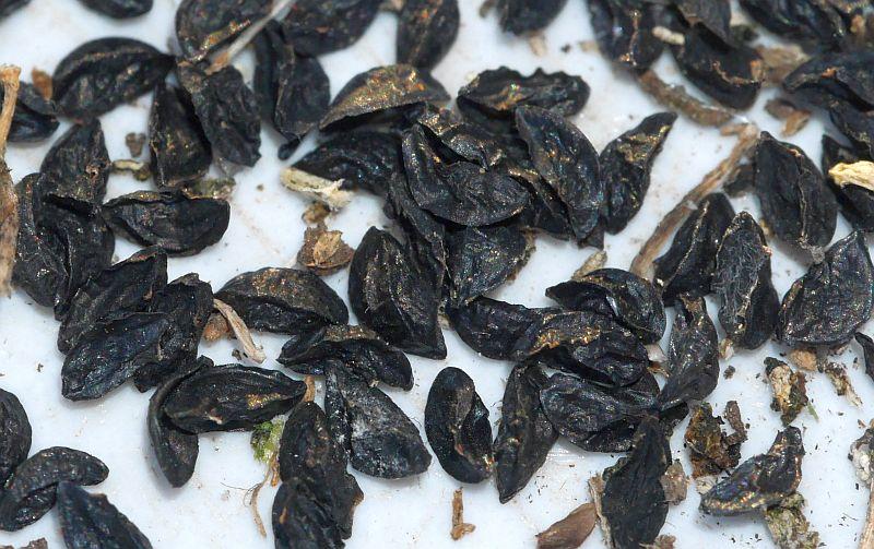 "Allium schoenoprasum ""Black Isle Blush"" (chives)"