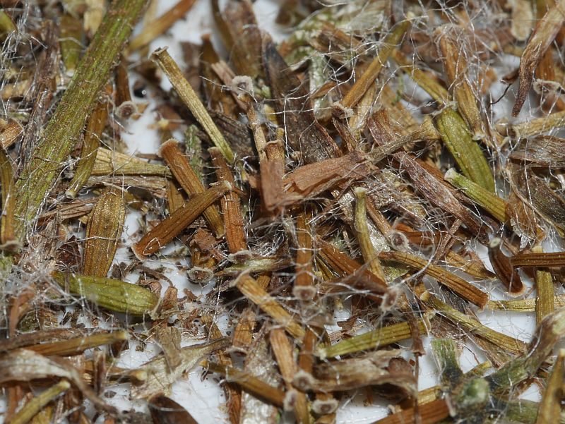 Parasenecio  maximowiczianum