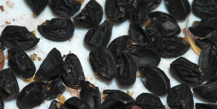 Allium macranthum