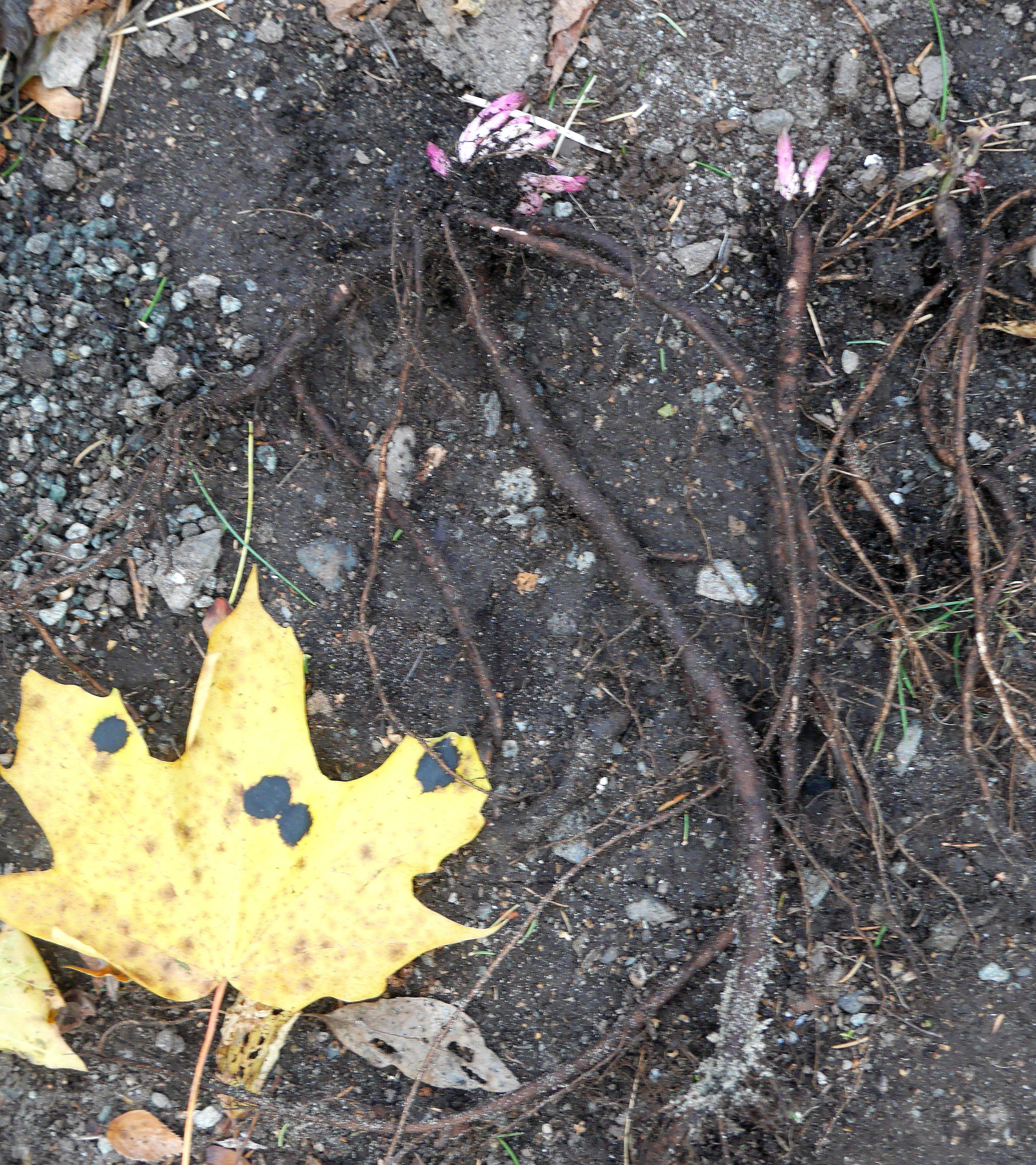 Replanting pot self-sowed Hablitzia