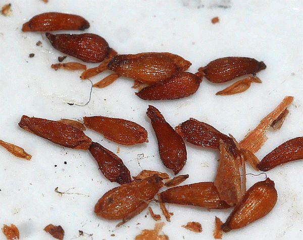081117:  Rhodiola rosea (roseroot / rosenrot)