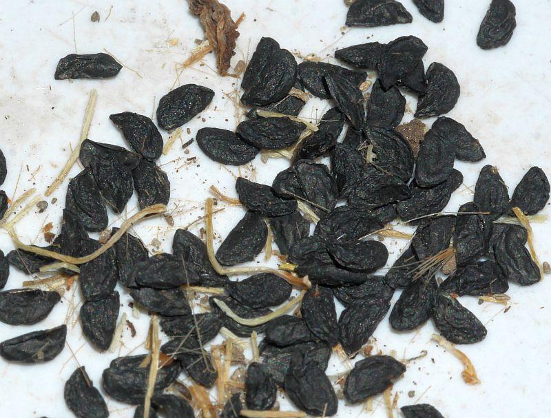 "Allium flavum ""Blue leaf"""