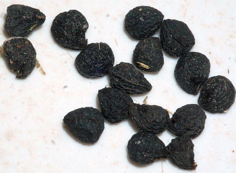 Allium decipiens var quercetorum