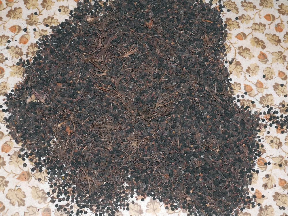 201117: Serious amounts of Udo (Aralia cordata) seed!