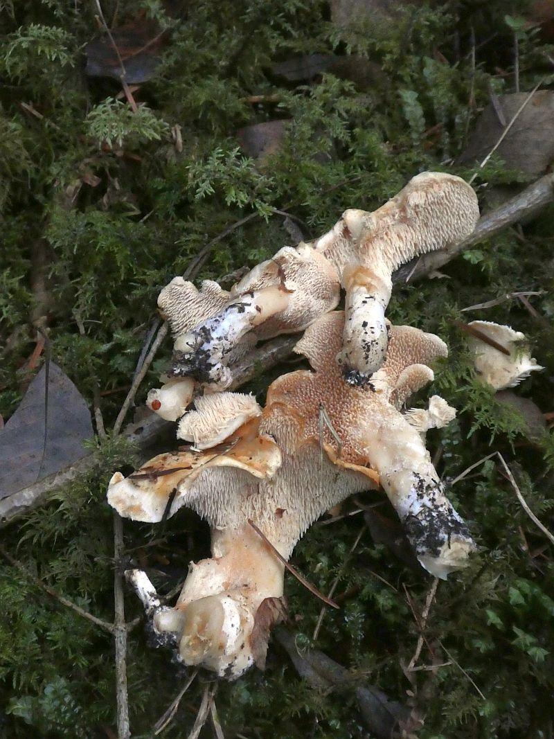 The only hedgehog fungus (piggsopp)