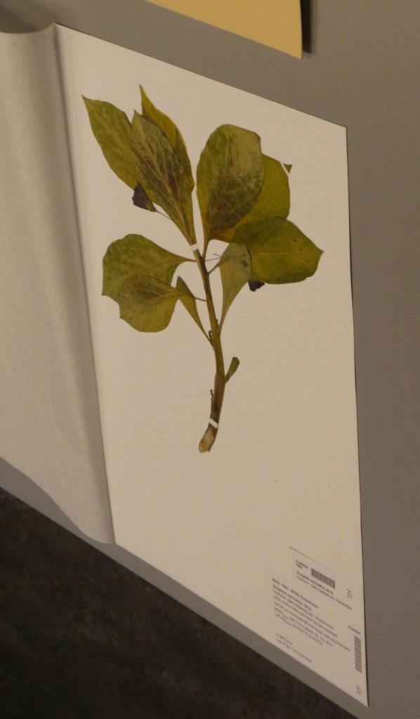 Scopolia carniolica, a poisonous plant, found on Lade in Trondheim by Tommy, a garden escape