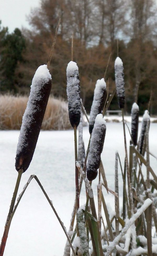 061217: Typha (cattails / dunkjevle)