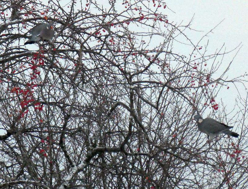 061217: Woodpigeons (ringdue) have taken a fancy to species apple Malus toringoides from China