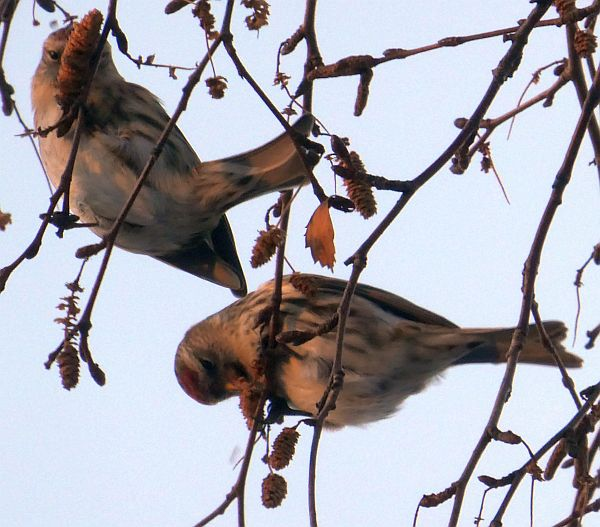 111217: Redpolls (gråsisik) on birch