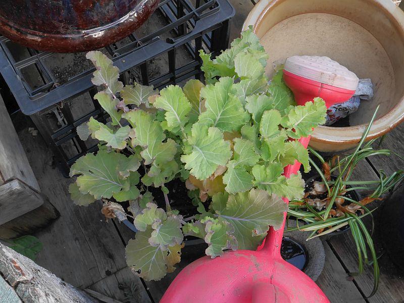 Perennial kale. Daubenton?