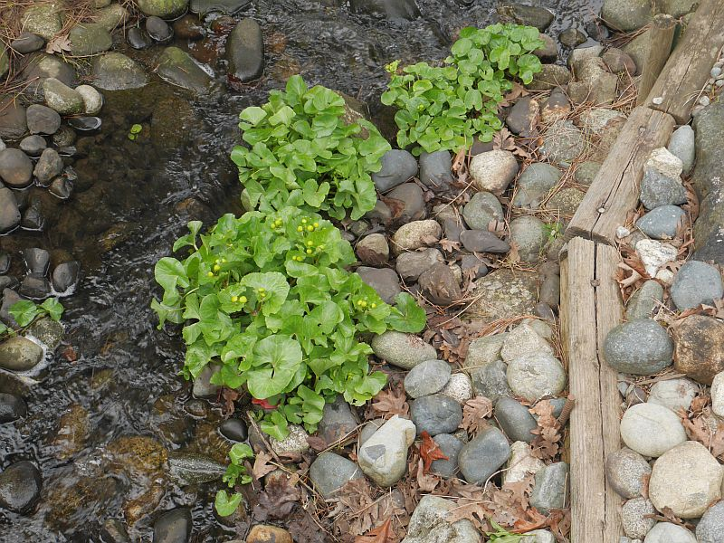 Caltha, cowslip or marsh marigold is also widely used for food and medicine by native peoples