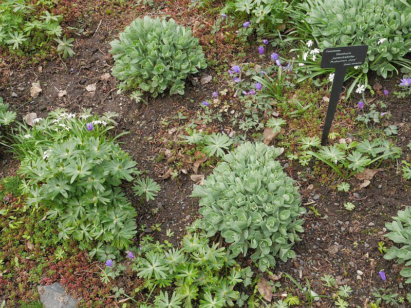 Sedum spectabile is a good spring salad plant!