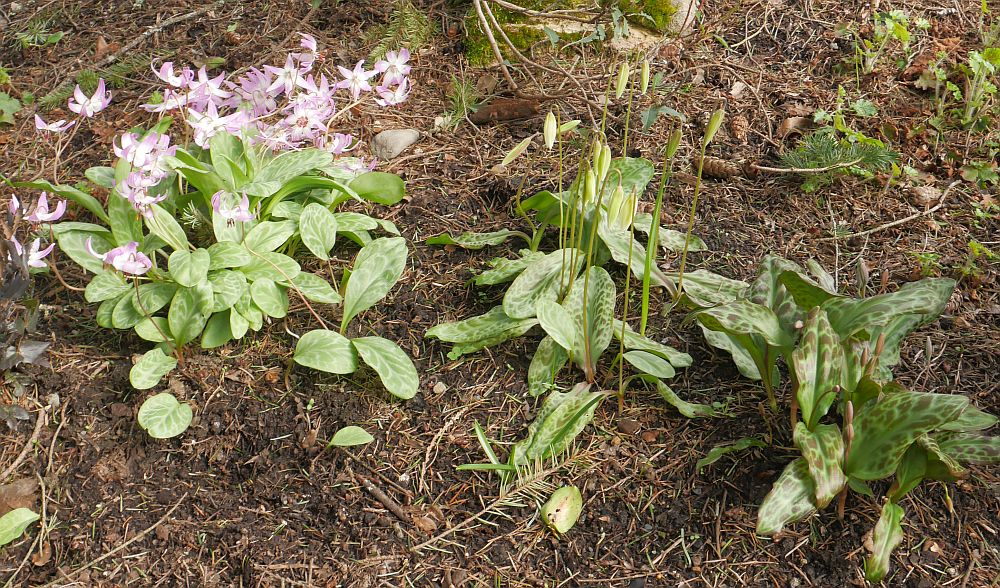 ...and more, Erythroniums