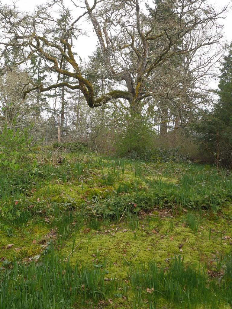 ...with edible camas (Camassia) and garry oak