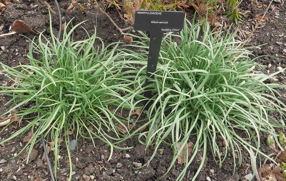 Native Allium cernuum