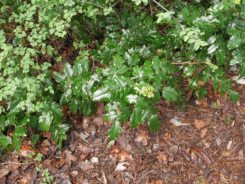 Mahonia aquifolium, tall Oregon grape