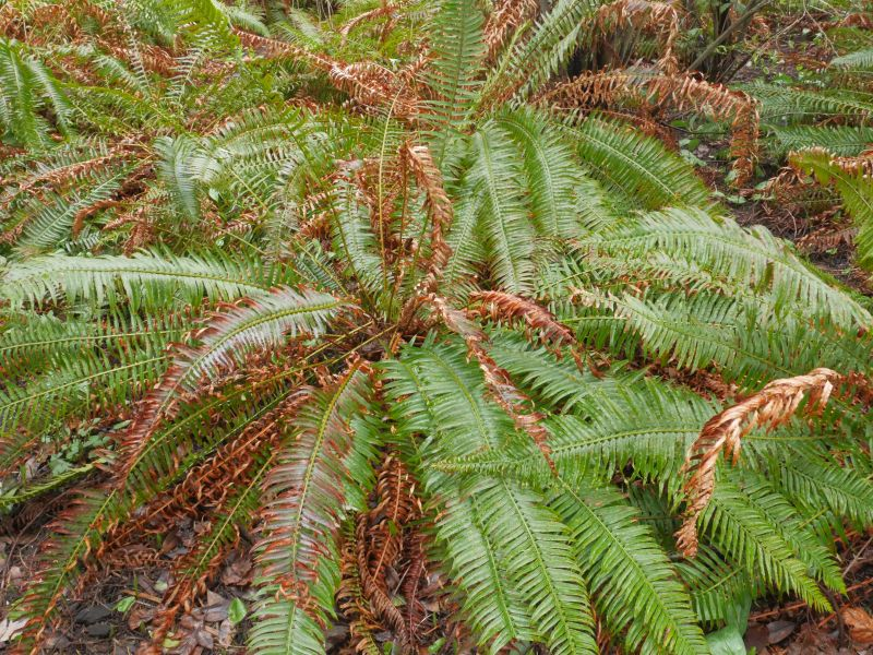 Sword fern? (Polystichum munitum)