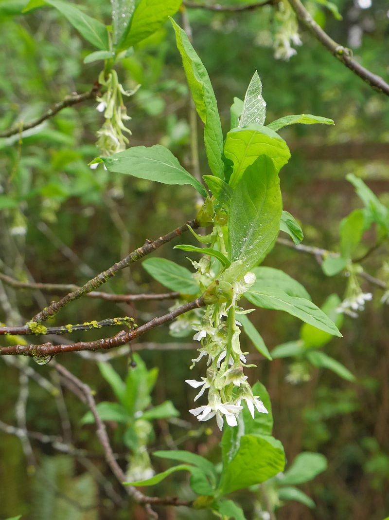 Indian plum or osoberry (Oemleria cerasiformis)...the plums were/are eaten fully ripe by native peoples of the west coast!