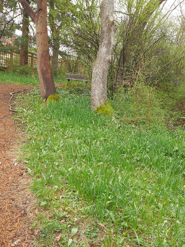 Camas meadow, Camassia leichtlinii