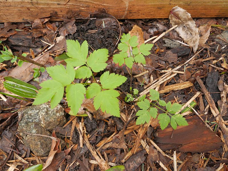 Osmorhiza occidentalis (sweet cicely root)?