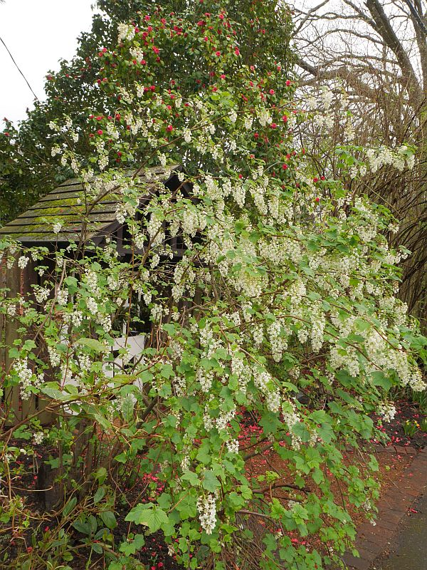 "Ribes sanguineum ""White Icicle""?"
