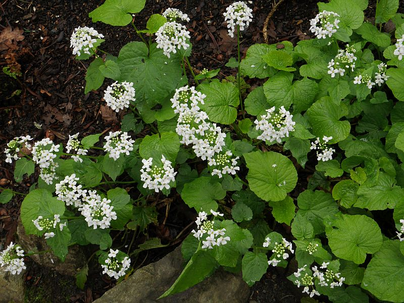 Pachyphragma macrophylla is a beautiful woodland edimental in the cabbage family which is one of the earliest flowering woodlanders. I had it for a number of years, but for some reason didn't make notes of tasting it...I lost it unfortunately...replanted it last year and lost it again..