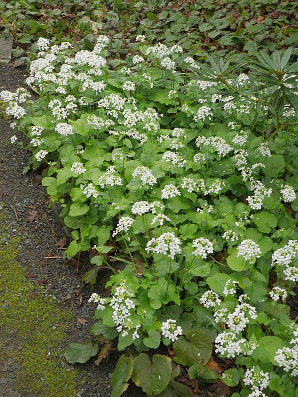 Pachyphragma macrophylla is from West Asia, N.E. Turkey to the W. Caucasus. It's naturalized in Britain. Have a taste and let me know!