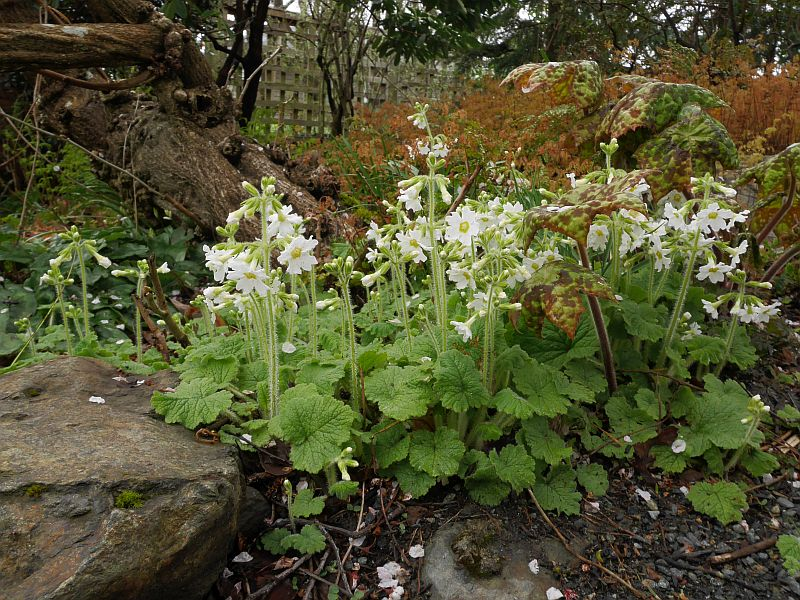 Primula and Podophyllum