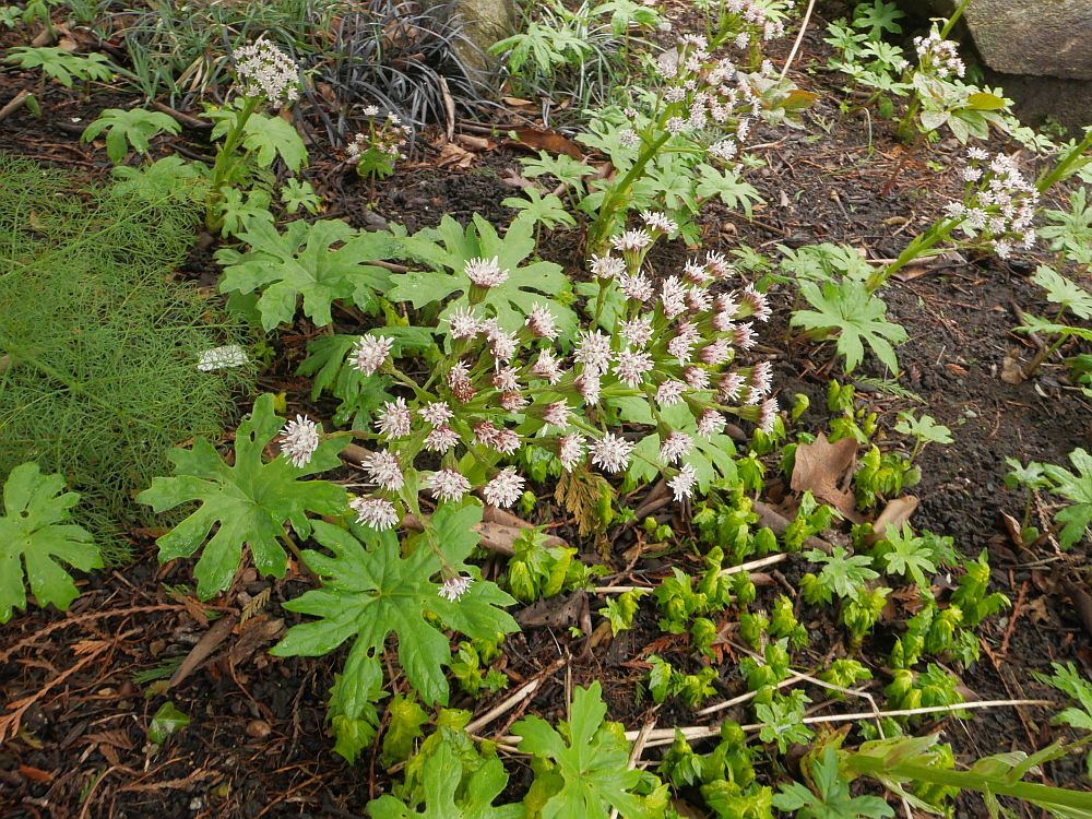 Petasites palmatus: the leaves and young stems were a vegetable for native american tribes
