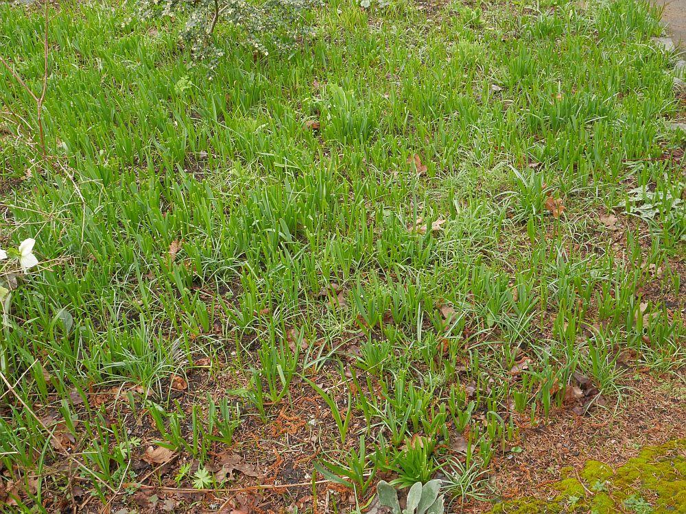 Wild camas (Camassia) meadow!