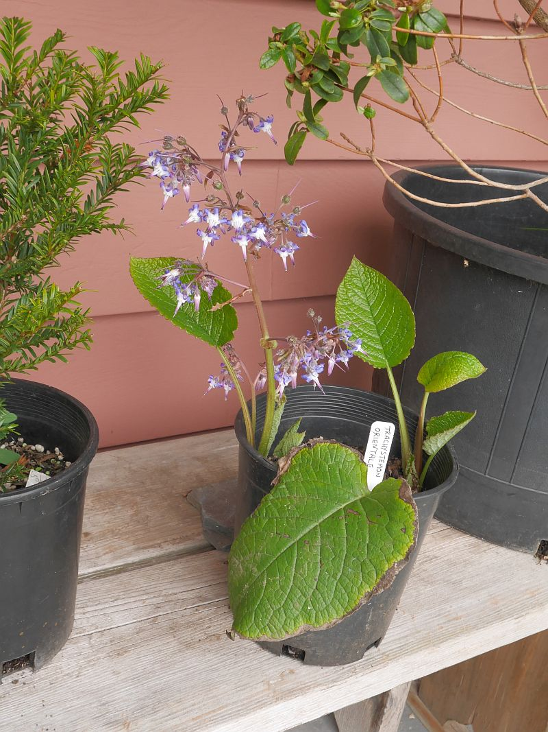 A display of plants of current interest: Trachystemon orientalis
