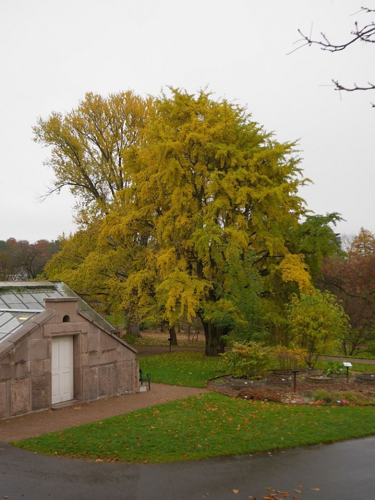 Probably the oldest Gingko tree in Northern Europe, soon to reach 150!