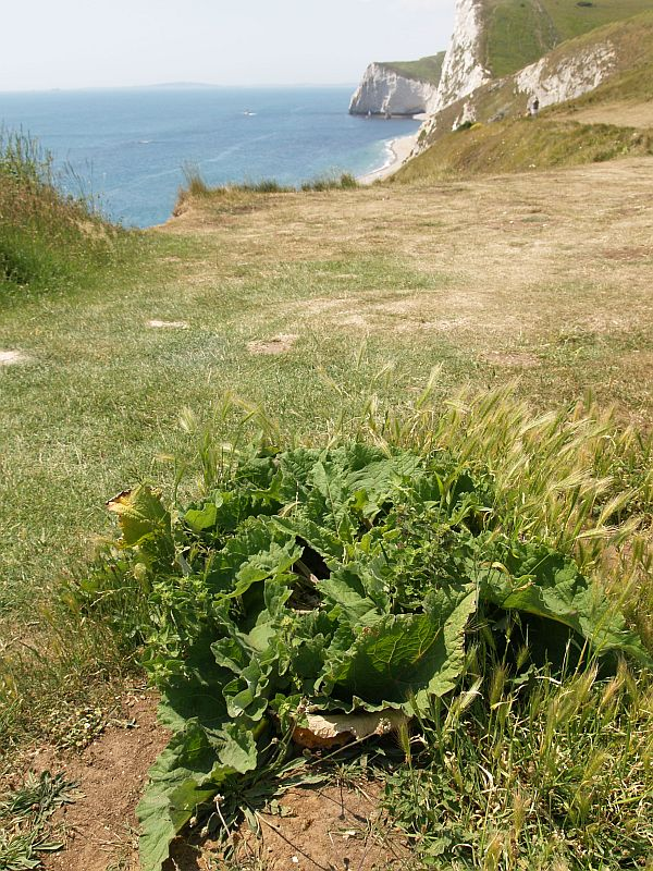 Burdock on the cliff tops at Durdle Door, Dorset
