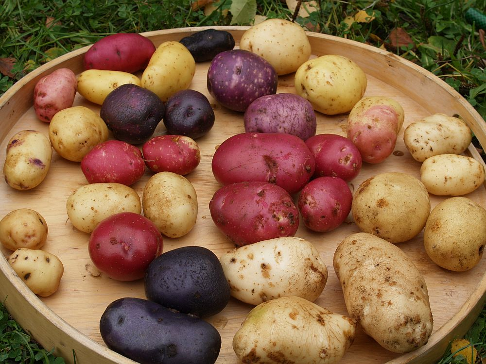 19 different potatoes cooked for my daughter's birthday in 2012 (see the next picture for IDs)