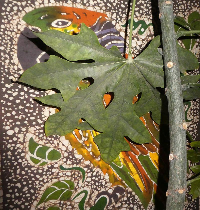 Amazona versicolor in my indoor forest garden!