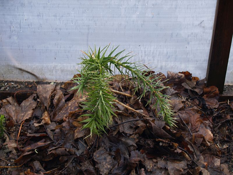 I tried to overwinter the Brazilian monkey puzzle with a leaf mulch and in an open (to the top) greenhouse. I was surprised that it made it well into March (picture), but a subsequent cold period killed it...