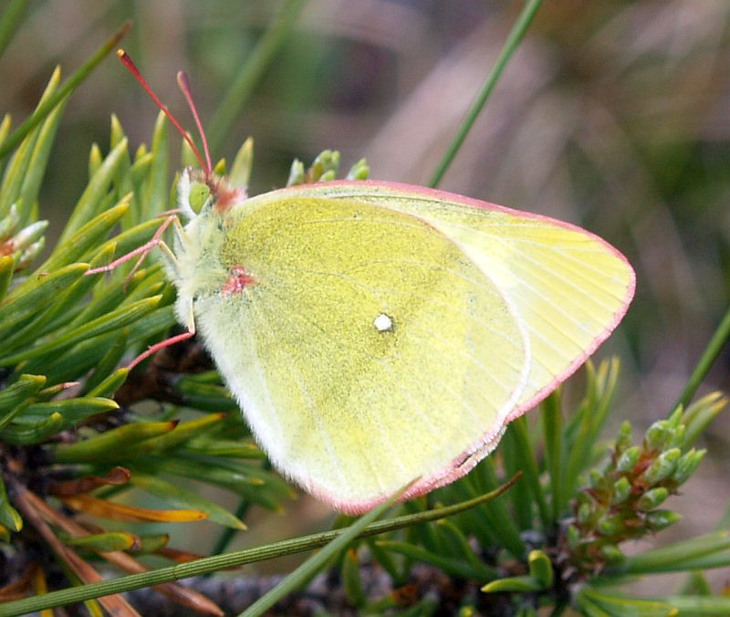 ...and this is another Helge helped me with, moorland clouded yellow (myrgulvinge), the first time this species was recorded in Malvik kommune in 2008  (there have been 3 more observations in the last 3 years).
