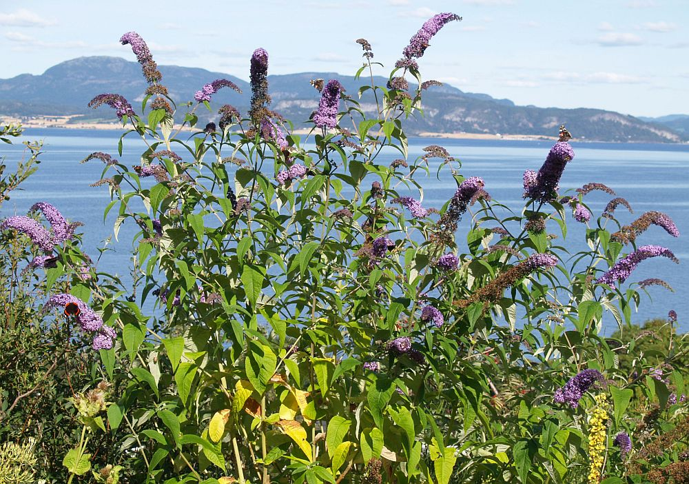 Buddleja in my garden from a cutting from Helge